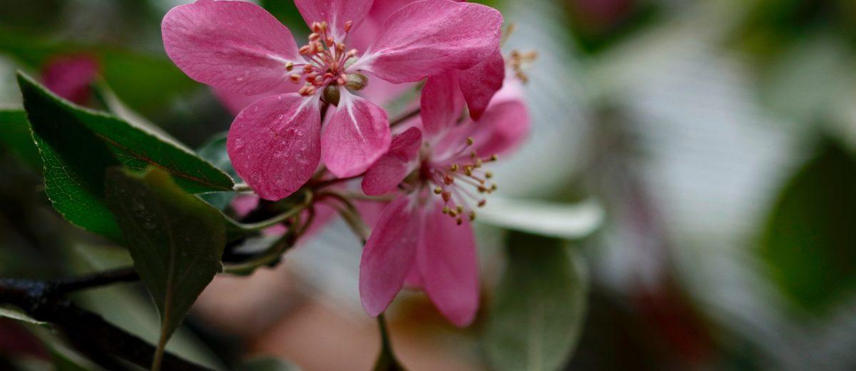 Kandyzowane rajskie jabłuszka