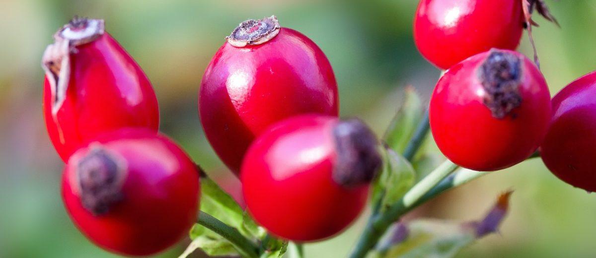 Konfitura z owoców dzikiej róży