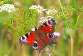 Przyłącz się do liczenia motyli