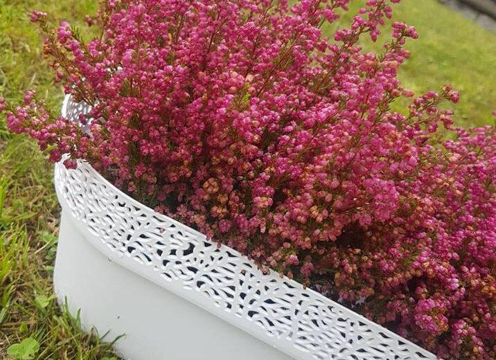 Wrzesień miesiącem wrzosów. Jak pielęgnować, sadzić i dbać o wrzosy?