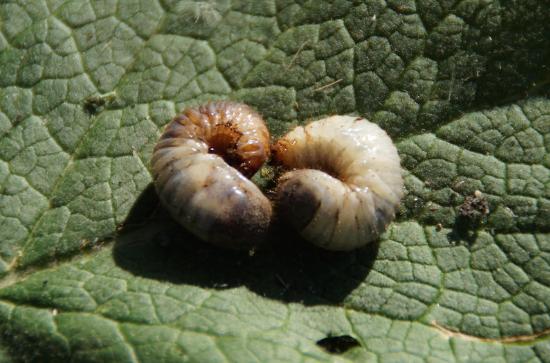 Pędraki – larwy chrabąszcza majowego. Jak pozbyć się pędraków z ogrodu?