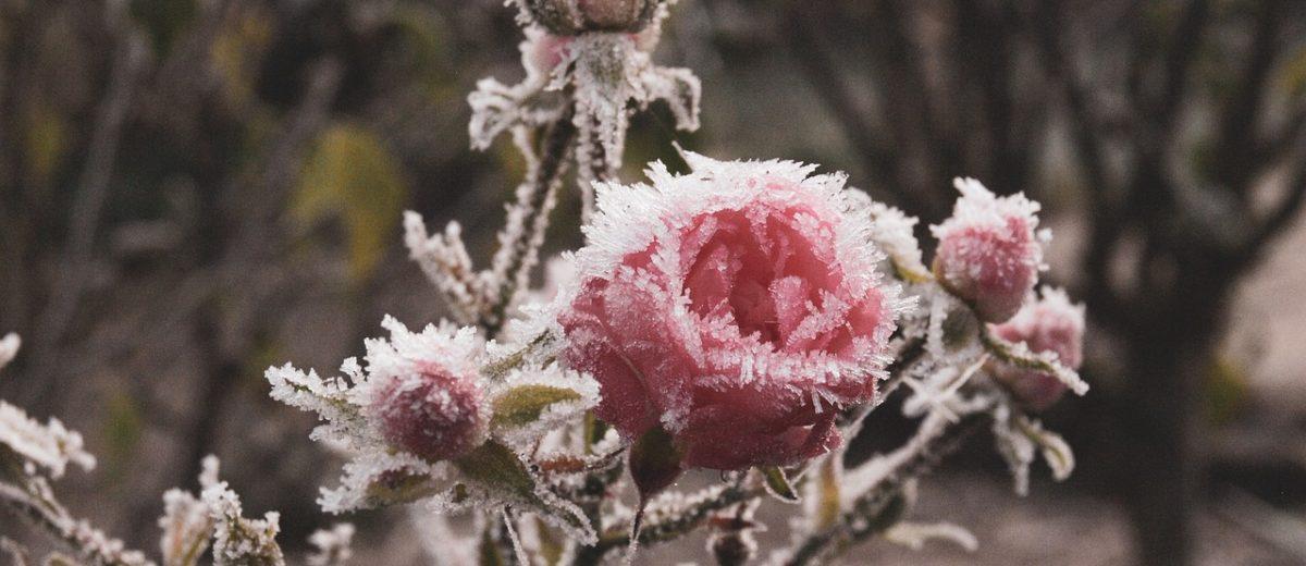 Kopczykowanie róż, czyli jak zabezpieczyć róże przed zimą…