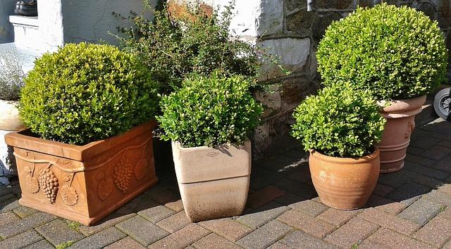 Podlewanie roślin zimozielonych na zimę