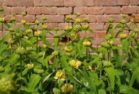 Żeleźniak – ozdoba ogrodów naturalistycznych