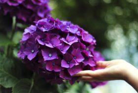 Odmiany hortensji do ogrodu