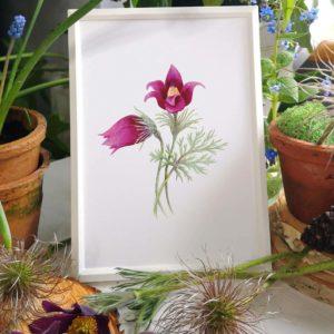ilustracja botaniczna sasanka