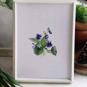 ilustracja botaniczna Fiołek wonny