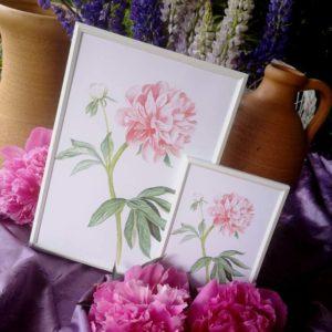 ilustracja botaniczna peonia